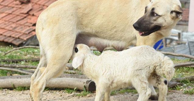 Annesinden süt alamayan kuzuyu çoban köpeği emziriyor