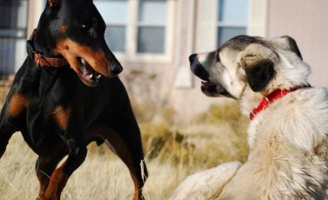 Köpeklerin kavgasına sahipleri girdi: 2 ölü