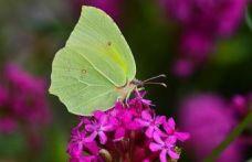 Burdur'da yeni kelebek türü bulundu