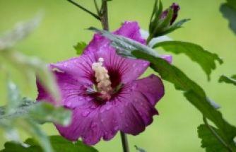 Şifa deposu: Hatmi çiçeği