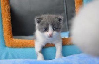 Çin'in klonlanmış ilk kedisi Garlic ile tanışın