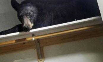 Eve giren ayı gardıropta uyudu