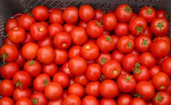 Rusya 21 ton domatesi daha iade etti!