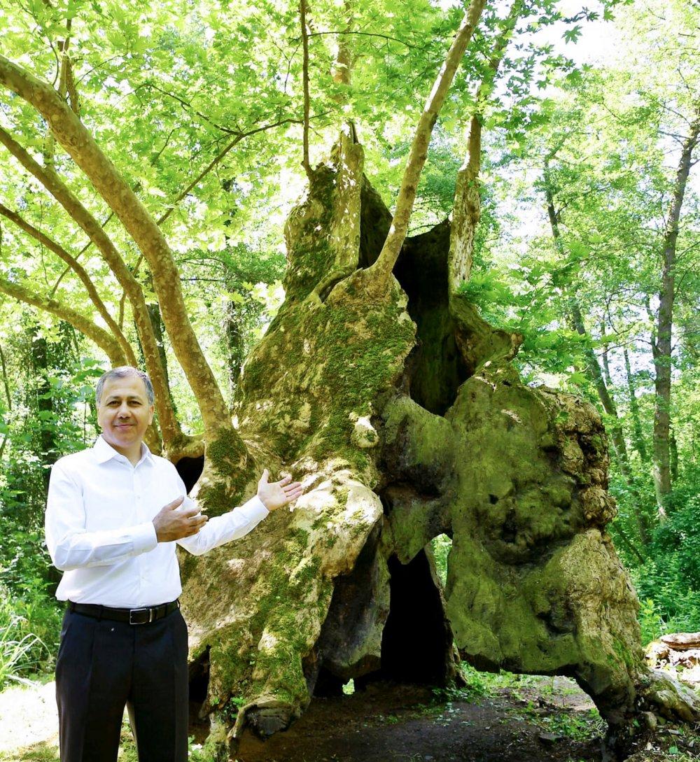 istanbul valisi ali yerlikaya istanbulun en yaşlı ağacı