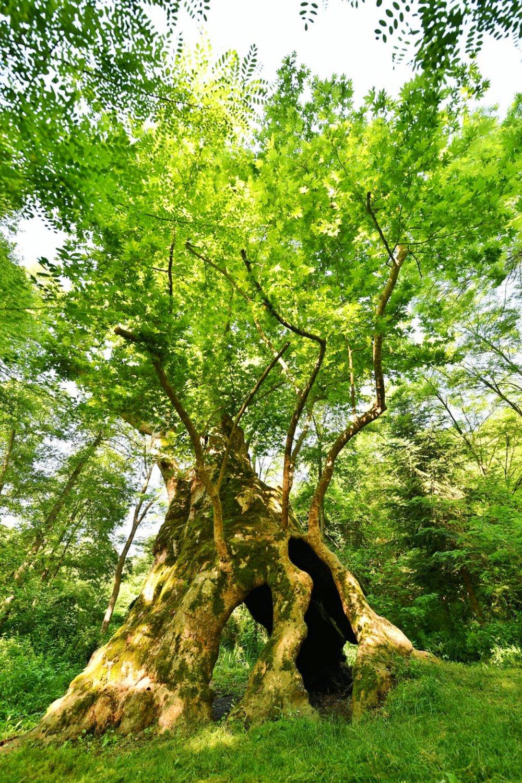 istanbulun en yaşlı ağacı