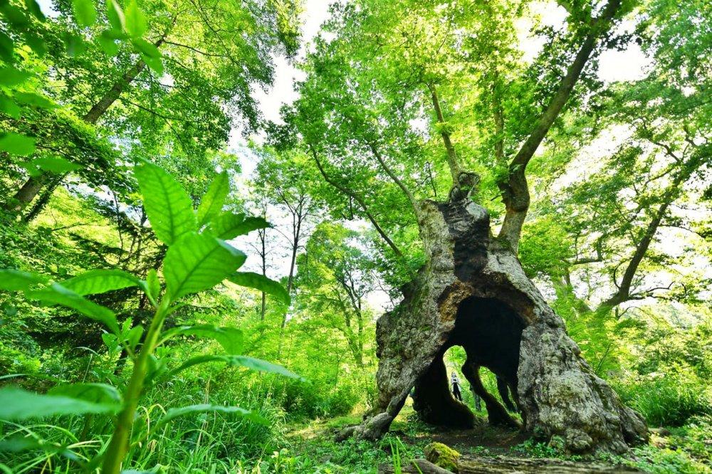 türkiyenin en yaşlı ağacı