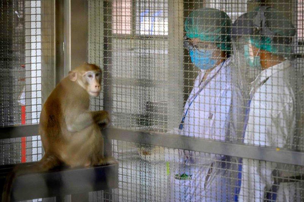tayland maymun koronavirüs aşısı