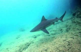 Gökova'da köpek balığı paniği!